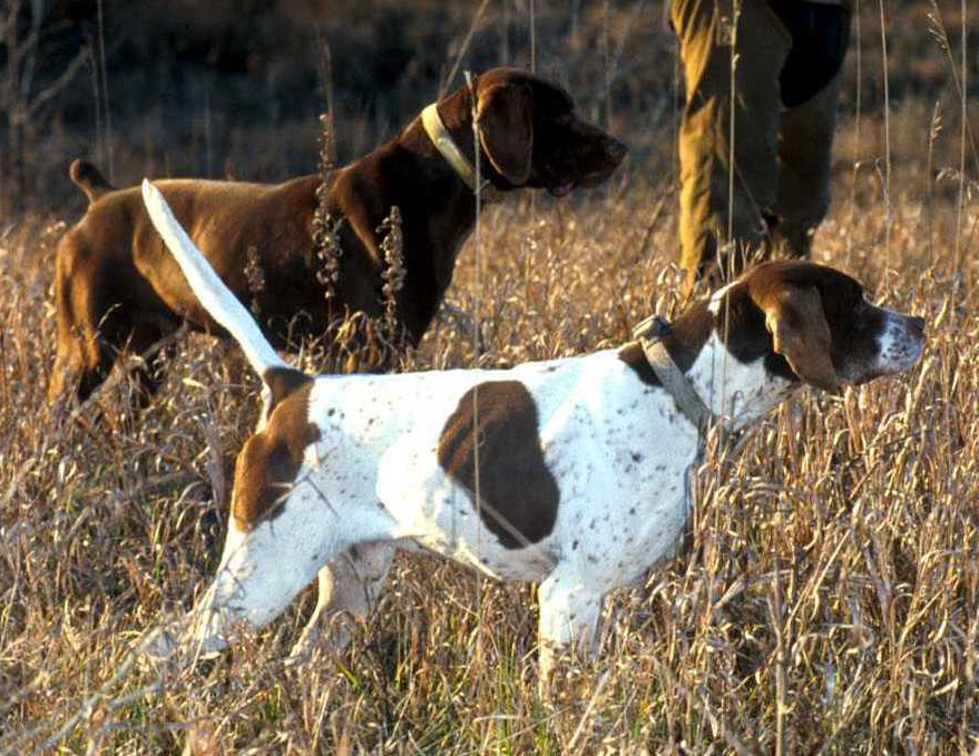 most popular hunting dogs used for all types of hunting